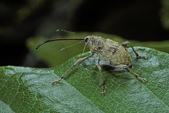 Curculio Elephas (Chestnut Weevil)-Paul Starosta-Photographic Print