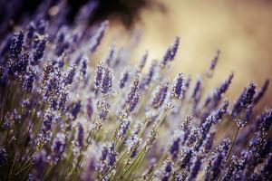 Beautiful Detail of a Lavender Field by Curioso Travel Photography