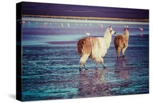 Lama on the Laguna Colorada, Bolivia by Curioso Travel Photography