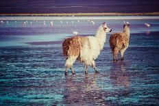 Lama on the Laguna Colorada, Bolivia-Curioso Travel Photography-Photographic Print