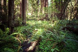 Redwood National Park in California, Usa by Curioso Travel Photography