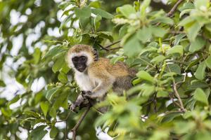 Vervet Monkey (Cercopithecus Aethiops) Sitting in A Tree, South Africa by Curioso Travel Photography