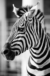 Zebra, Serengeti National Park, Tanzania, East Africa by Curioso Travel Photography
