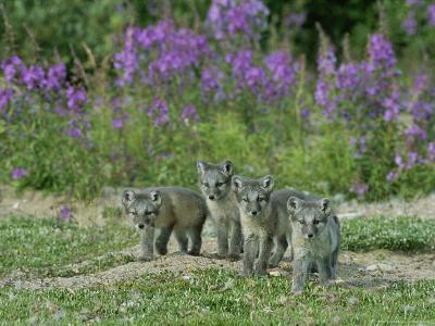 Curious Arctic Fox Pups Approach the Photographer-Norbert Rosing-Photographic Print
