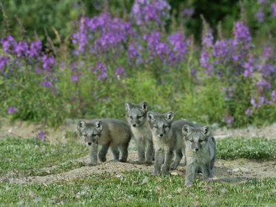 https://imgc.artprintimages.com/img/print/curious-arctic-fox-pups-approach-the-photographer_u-l-p5wtpv0.jpg?p=0
