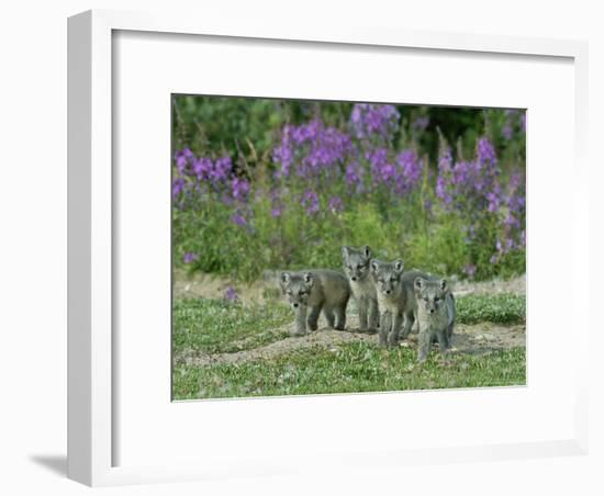 Curious Arctic Fox Pups Approach the Photographer-Norbert Rosing-Framed Photographic Print