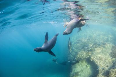 Curious California Sea Lion Pups (Zalophus Californianus), Underwater at Los Islotes-Michael Nolan-Photographic Print