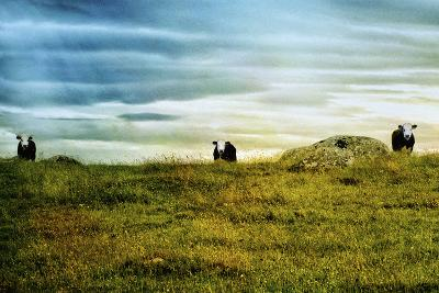 Curious Cows, Ireland-Dolores Smart-Photographic Print