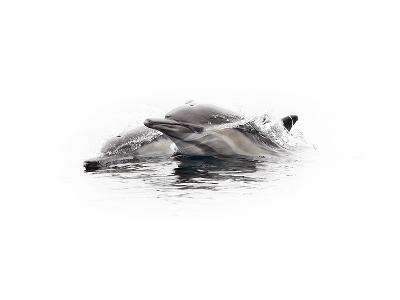 Curious Dolphin 1-Steve Munch-Art Print