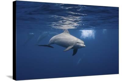 Curious Dolphin-Barathieu Gabriel-Stretched Canvas Print