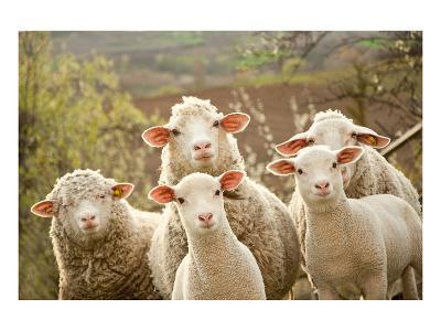Curious Flock of Sheep--Art Print