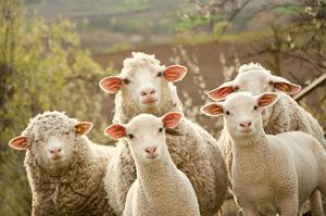 Curious Flock of Sheep