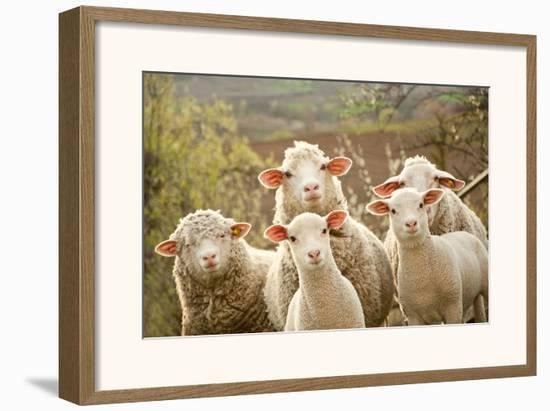 Curious Flock of Sheep--Framed Art Print