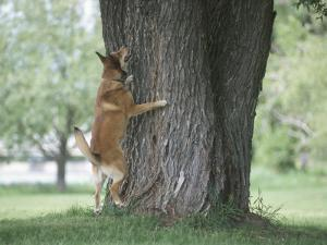 Curious German Shepherd Dog Barking Up a Tree