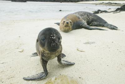 Curious Young Galapagos Sea Lion and Concerned Parent-DLILLC-Photographic Print