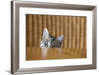 Curious Young Kitten Looking over a Table-Dirk Ott-Framed Photographic Print