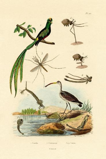Curlew, 1833-39--Giclee Print