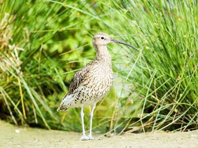 Curlew, Adult, UK-Mike Powles-Photographic Print