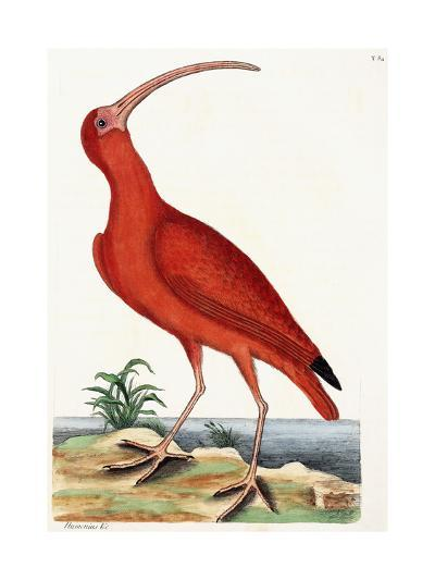 Curlew, Numenius, 1771-Mark Catesby-Giclee Print