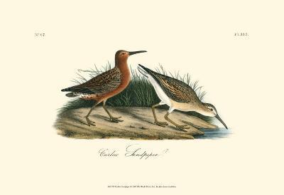 Curlew Sandpiper-John James Audubon-Art Print