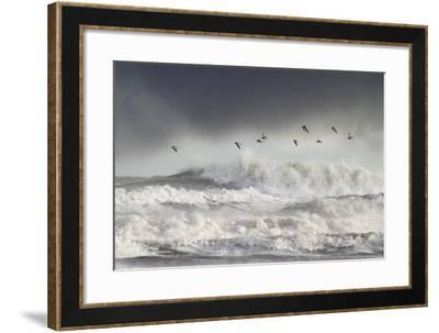 Curlews (Numenius Arquata) Group Flying over the Sea During Storm-Ben Hall-Framed Photographic Print