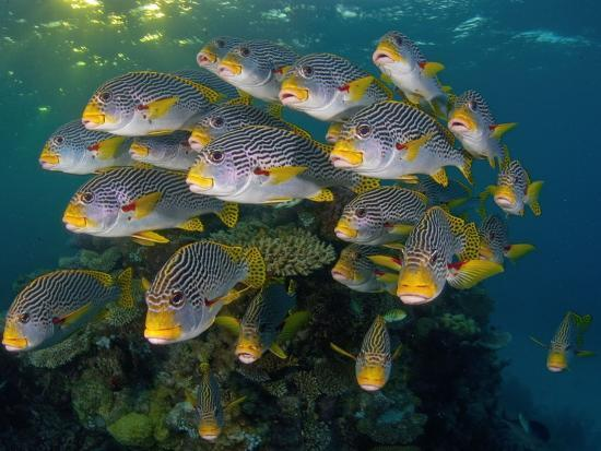 Currents in Challenger Bay Push and Pull Diagonal-Banded Sweetlips-David Doubilet-Photographic Print