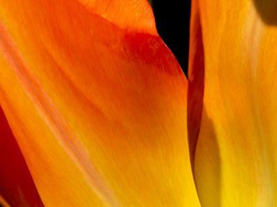 https://imgc.artprintimages.com/img/print/curtain-of-orange-tulip-petal_u-l-q1avgdl0.jpg?p=0