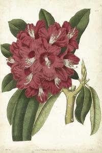 Antique Rhododendron II by Curtis