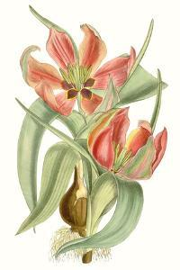 Curtis Tulips I by Curtis