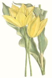 Curtis Tulips II by Curtis
