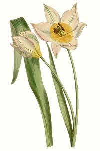Curtis Tulips III by Curtis