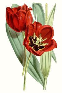 Curtis Tulips V by Curtis