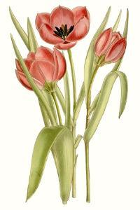 Curtis Tulips VII by Curtis