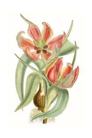 https://imgc.artprintimages.com/img/print/curtis-tulips-i_u-l-q1e8kx20.jpg?p=0
