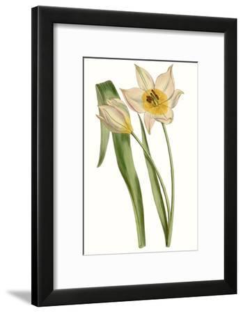 Curtis Tulips III-Curtis-Framed Art Print