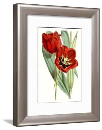Curtis Tulips V-Curtis-Framed Art Print