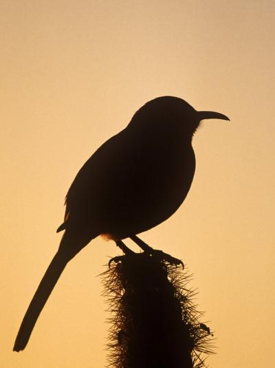 Curve-Billed Thrasher Silhouette on a Cactus, Toxostoma Curvirostre, Southwestern USA-Charles Melton-Photographic Print