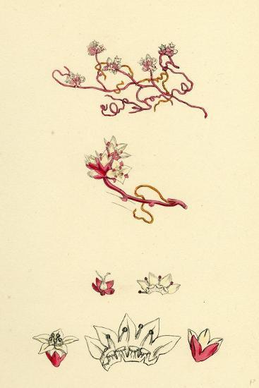 Cuscuta Epithymum Lesser Dodder--Giclee Print