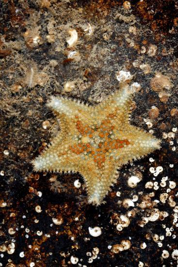 Cushion Starfish-Dr. Keith Wheeler-Photographic Print