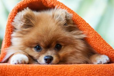 Cute and Funny Puppy Pomeranian Smiling on Orange Background- barinovalena-Photographic Print