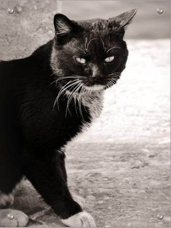 Cute Black Cat With White Paws Art On Acrylic I W Art Com