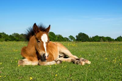 Cute Brown Foal Laying on Grass-andy lidstone-Photographic Print