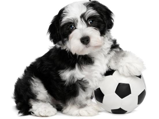 Cute Havanese Puppy Dog With A Soccer Ball Photographic Print by mdorottya  | Art com