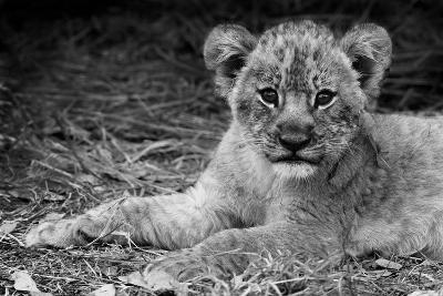 Cute Lion Cub In Black And White-Donvanstaden-Art Print