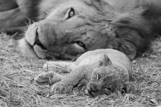Cute Lion Cub Resting With Father-Donvanstaden-Art Print