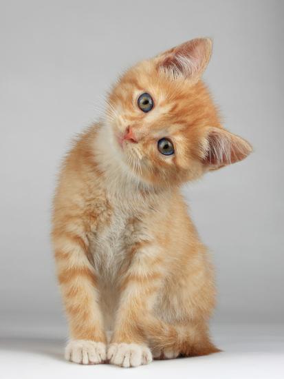 Cute Little Kitten-Lana Langlois-Photographic Print