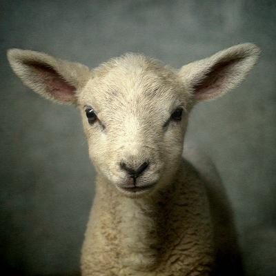 Cute New Born Lamb-bob van den berg photography-Photographic Print