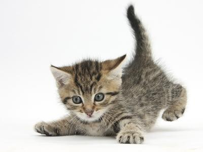 Cute Playful Tabby Kitten, Stanley, 6 Weeks Old-Mark Taylor-Photographic Print