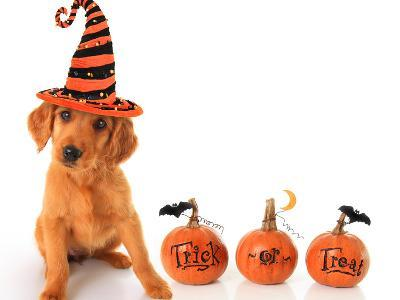 Cute Puppy Wearing a Halloween Witch Hat with Pumpkins-Hannamariah-Photographic Print
