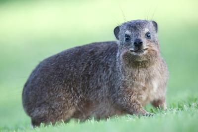Cute Rock Hyrax Animal-Four Oaks-Photographic Print